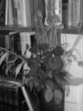 roses_gray