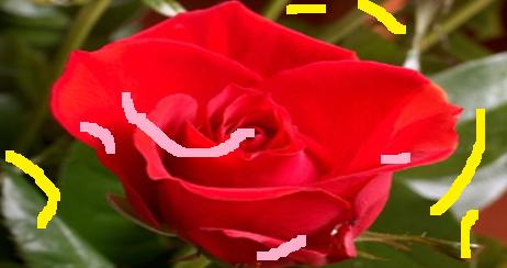rose_scribed